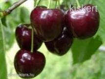Gyümölcsfa oltványok termelőtől eladók!