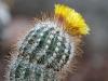 Virágzó kaktuszok a PTE Botanikus kertjében