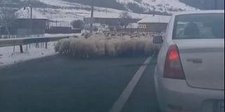 A főútról sót nyalogató juhok okoztak torlódást