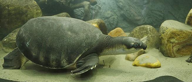 Új akváriumot kapott Coca, a Pécsi Állatkert malacképű teknőse, megszabadult a társbérlőktől