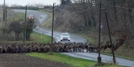 Több száz szarvas vágtázott át az úton Mohács közelében - Videó!
