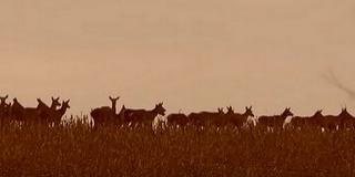 Így vonulnak a szarvasok Baranyában - Csodálatos videó készült egy rudliról