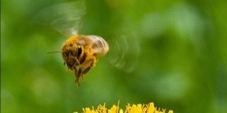 A méhek azonnali zárlatát rendelték el Pécsett