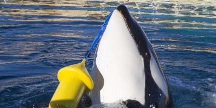 Először tanult meg kardszárnyú delfin emberi szavakat utánozni