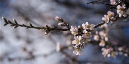 Virágzó mandulafát fotóztak Pécsett, mutatjuk!