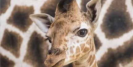 Zsiráfborjú jött világra a Nyíregyházi Állatparkban
