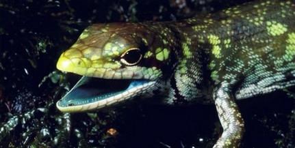 A biológia és az evolúció tette zölddé egy gyíkcsoport vérét