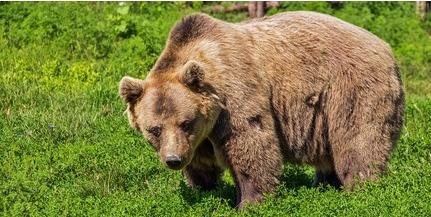 Szabadon engedték a kóborló medvét éjszaka