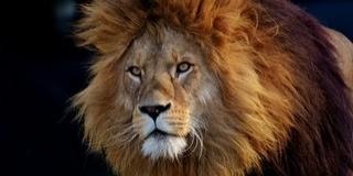 Kiszökött egy oroszlán a ketrecéből, evakuálták az állatkertet