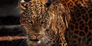 Alpaka, róka, emu volt a elszabadult jaguár étlapján