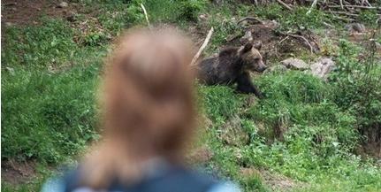 Áttelepítik a tusnádfürdői medvéket, így csökkentenék a támadások számát