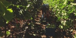 Jövő héten már szüretelik a jellegzetes kékszőlőfajtákat Villányban