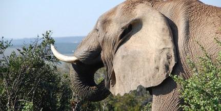 Mintegy kilencven elefántot mészároltak le Botswanában