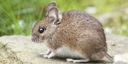 Horror: egerek tizedelik a tengeri madarakat
