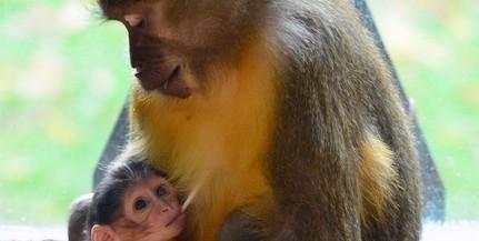 Aranyhasú mangábé született a Fővárosi Állat- és Növénykertben