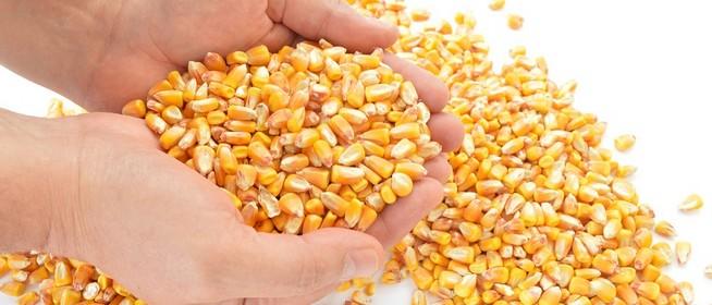 Több ezer tonna kukoricát adott el két baranyai férfi úgy, hogy egy szemük se volt