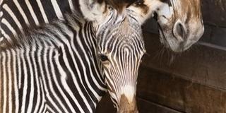 Grévy-zebra született a Nyíregyházi Állatparkban