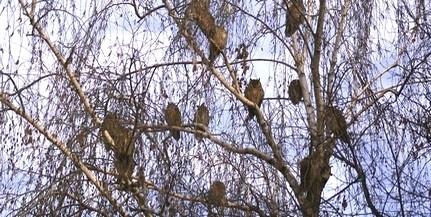 Ismét számba veszik az erdei fülesbaglyokat - Baranyában több mint ezer egyed élhet