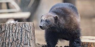 Szuperhős ragadozó érkezett a Pécsi Állatkertbe, hamarosan társa is lehet