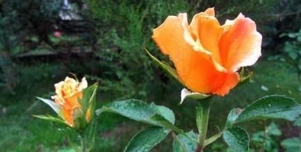 Éjszaként permetezik a rózsaágyásokat Pécsett