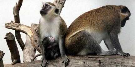 Húsvéti meglepetés: cuki majomkölyköket is nézegethetünk a Pécsi Állatkertben!