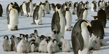 Császárpingvin-fiókák ezrei vesztek a tengerbe egy viharban
