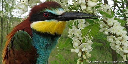 Visszatértek a gyurgyalagok is, egy-egy helyen több száz madárpár is költhet