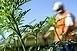 Több tízezerrel nőtt a parlagfűre allergiások száma