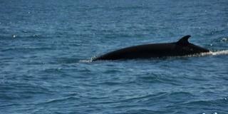 Három évtized után ismét ölik a japánok a bálnákat