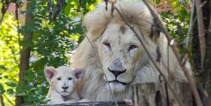 Már a kifutóban látható Szonja, a fehér oroszlánkölyök