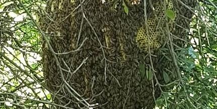 Hatalmas méhkasra bukkant olvasónk a Melinda parknál
