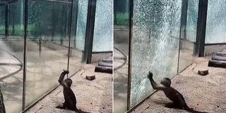 Üvegtöréssel akart meglépni egy majom az állatkertből