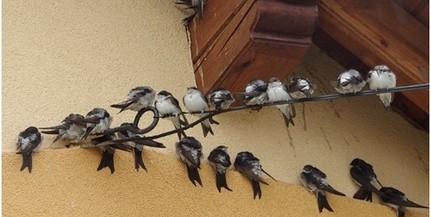 Kevesebb fecske fészkelt Baranyában idén, mint tavaly