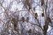 Felmérik az erdei fülesbaglyok telelőhelyeit a hétvégén