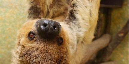 Elpusztult a világ hivatalosan legidősebb lajhárja, Paula