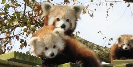 Összedobták a pénzt a Pécsi Állatkert új kifutójának építésére - Jöhetnek a vörös pandák