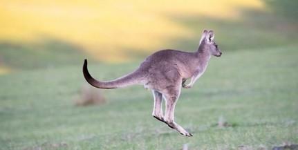 Meglépett két kenguru egy magyar állatkertből