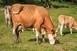 Ha tehene van, októberben ne legeltesse!