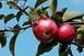 A fagyos tavaszi időjárás okolható a drága gyümölcsökért