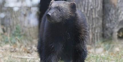 Megérkezett Matilda, párt kapott a Pécsi Állatkert eddig magányos rozsomákja