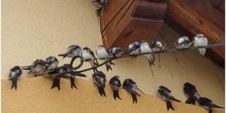 Idén egy kicsivel több fecske fészkelt Baranyában