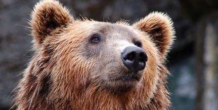 Medve baktatott a villamossíneken Miskolcon