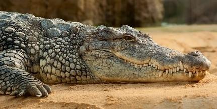 Termetes krokodilt találtak a tűzoltók Csehországban