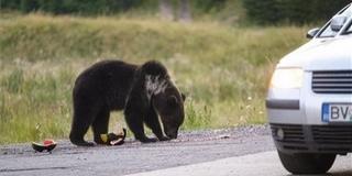 Les nélkül is láthatunk medvéket Erdélyben