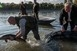 Tokhalakat telepítettek eredeti élőhelyükre, a Dunába