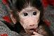 Még az árván maradt pécsi kis majom is veszélyes állatnak számít