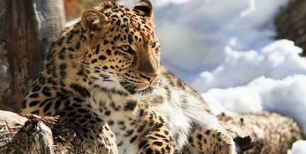 Veszélyben az amuri tigrisek és a leopárdok távol-keleti élőhelye
