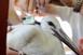 Két jeladós fehér gólya Afrikában, másik kettő itthon telelt