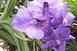 Újabb orchideák virágoznak a PTE botanikus kertjében