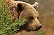 Medve sebesített meg egy nőt Székelyföldön